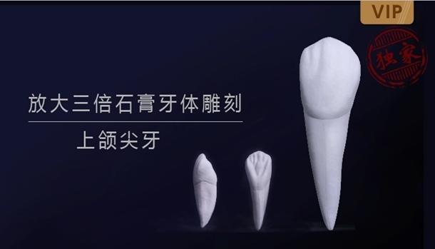 图片 放大三倍石膏牙体雕刻 上颌尖牙